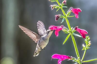 Black Chin Hummingbird...June 7, 2019