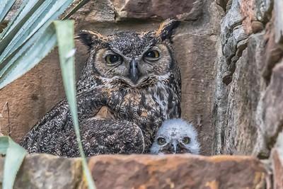 1st baby owl sighting....April 6, 2019