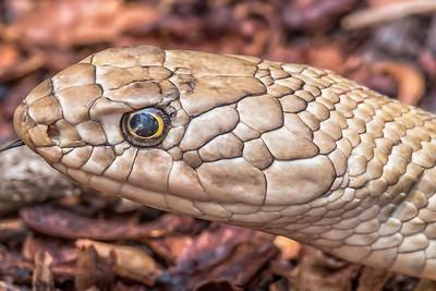 Coachwhip Snake....May 27, 2019
