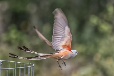 Scissortail Flycatcher....June 20, 2019