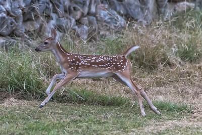 Deer near Brodie Lane in Austin....July 20, 2019