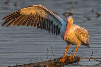 American White Pelican...White Rock Lake