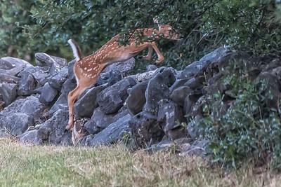 Deer near Brodie Lane in Austin...July 20, 2019