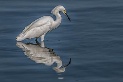 Snowy Egret...White Rock Lake