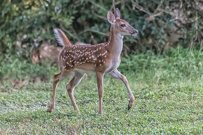 Fawn...July 22, 2019