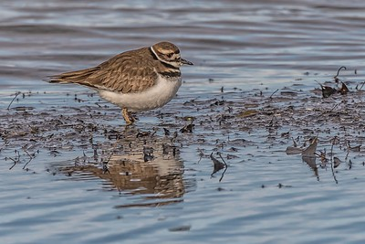Killdeer....White Rock Lake, Dallas...February 8, 2019