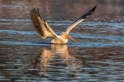 American White Pelican...Dallas White Rock Lake...Jan 5, 2019