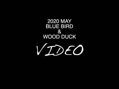 2020 BLUE BIRDS & WOOD DUCK