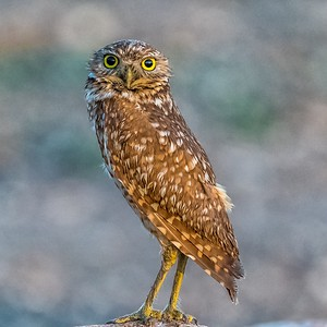 Burrowing Owl - Austin, Texas