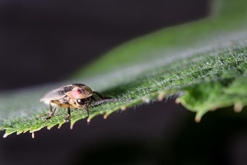 Firefly on hydrangea leaf