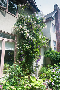 tall climbing rose from deck