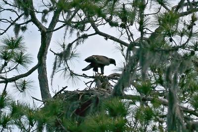 Unfledged Bald Eagle