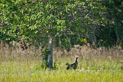 Wild Florida (Osceola) Turkey