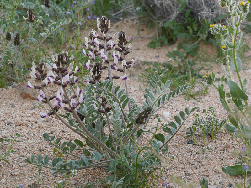We looked a bit more and made another discovery.Perhaps wild licorice or an astragalus species.