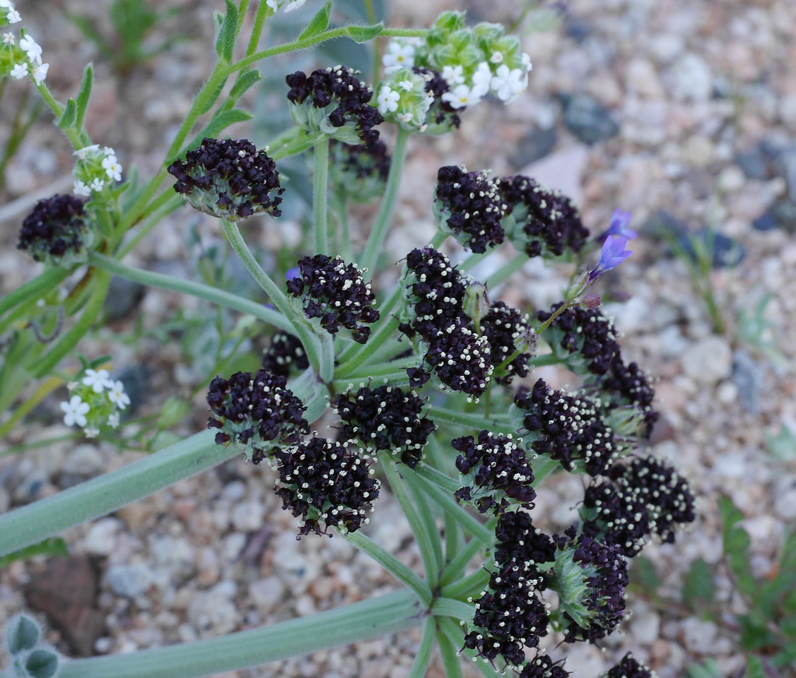We stopped at the intersection of Hwy 178 and Hwy 14 to investigate some flowers.  More evening snow and gilias.  This wild parsley was a another discovery.  The dark color of the flowers was intense in the end-of-the-day light.