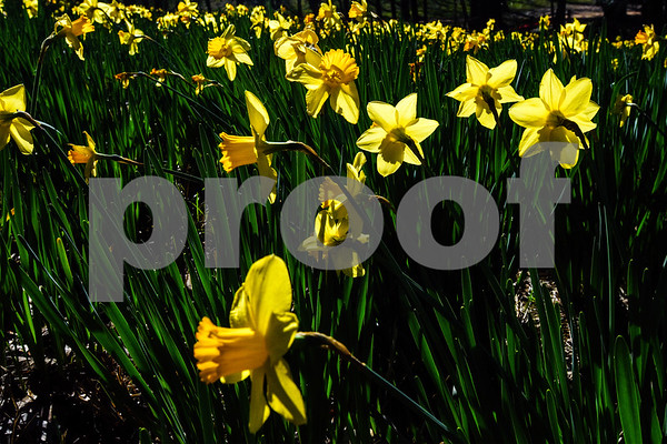 Daffodils at Mrs. Lee's Daffodil Garden in Gladewater, Texas, on Tuesday, March 6, 2018. The original daffodils were brought in from Holland years ago and have continued to grow and thrive on the land. (Chelsea Purgahn/Tyler Morning Telegraph)
