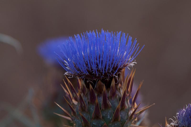 Flower head of thistle -- it's an artichoke!