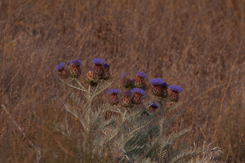 A species of thistle, most likely NON-native.