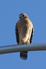 RED-SHOULDERED HAWK favoring it's right foot.  Hawk is patrolling Dove Canyon Road area for ? doves ?