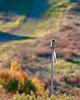 Early morning ~ American Kestrel male basking in sunshine ~ Rancho Santa Fe ~ Christmas Bird Count ~ 4S Ranch ~ Artesian Road ~ Jan. 3, 2010