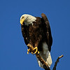 This Bald Eagle let me take quite a series of photos.  I was on a sofa on our kids pontoon boat at the dock and he seemed oblivious to my being there.