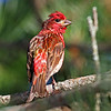 Another view of Purple Finch
