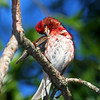 Purple Finch Preening