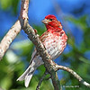 Nice Male Purple Finch - July 8th at the cabin
