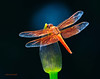 4th of July Dragonfly 16 _pp