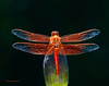 4th of July Dragonfly 23 _pp