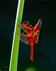 4th of July Dragonfly 27 _pp