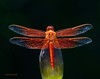 4th of July Dragonfly 22 _pp