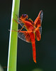 4th of July Dragonfly 28 _pp