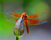 4th of July Dragonfly 34 _pp
