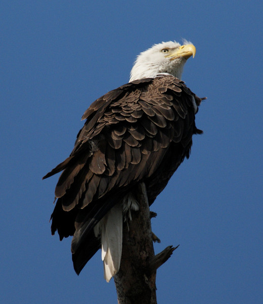 An eagle nest is located near the road, north of Tarpon Springs.  This time of year, you can see the two breeding adults and eaglets.  This year, there are two eaglets.