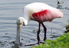 Roseate spoonbill in Largo Nature Park