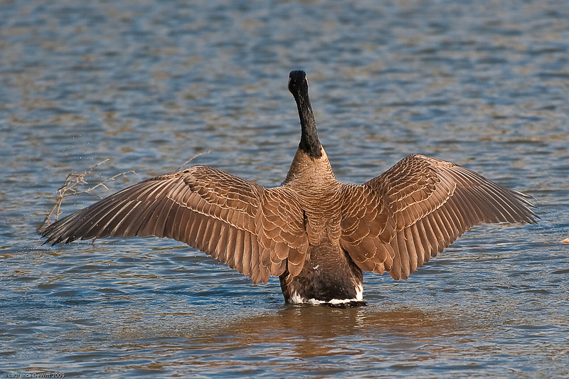 5 Rivers Geese 4-12-09-253