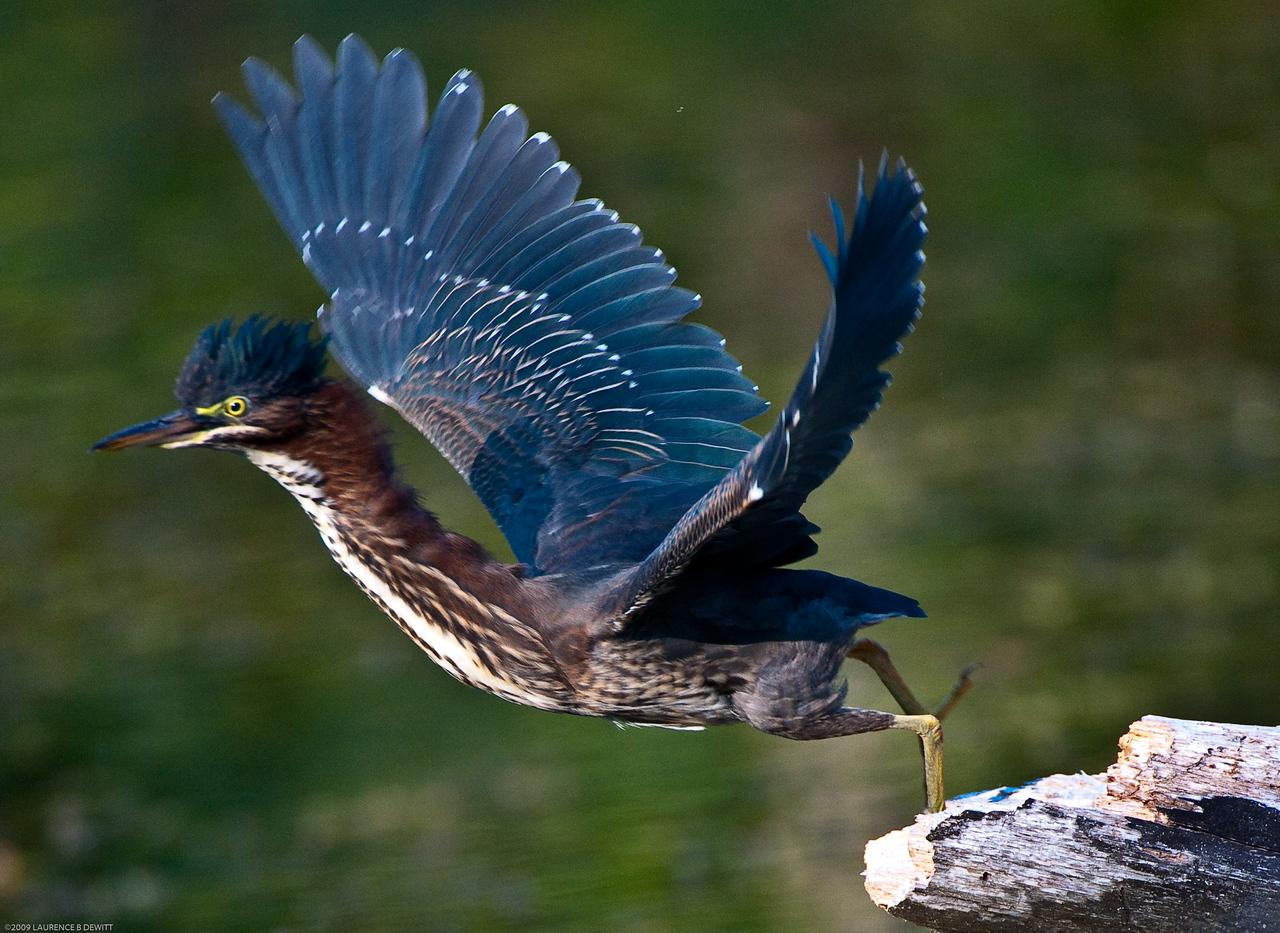 5rivers Blue Heron 2009-7-27-621
