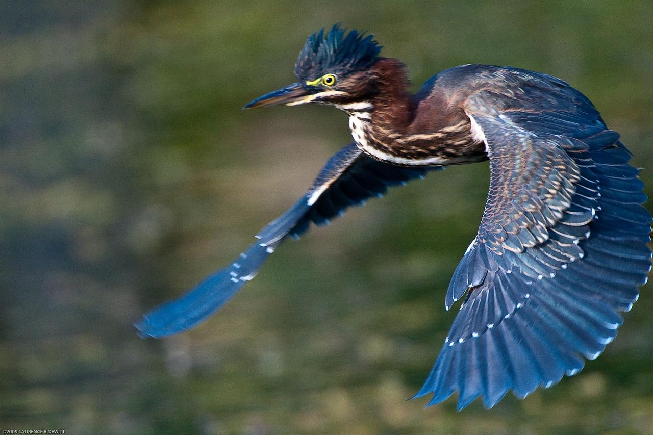 5rivers Blue Heron 2009-7-27-622