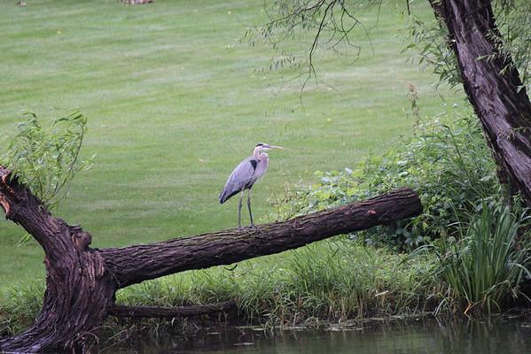 7-13-13 Egret