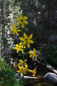 And a close up of the lemon lily.