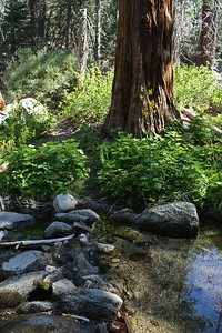 Looking back across the river at the lily framed within the trunk of the cedar.