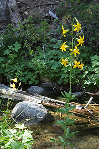 Another view of the lemon lily with the river in the background.  Due to the light winter, the river looked more like a creek.