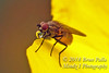 Hover Fly with Water Drop copy