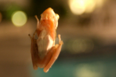 This frog looked almost transparent from the back!