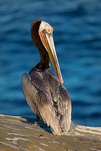 _MG_4238 - Pelican