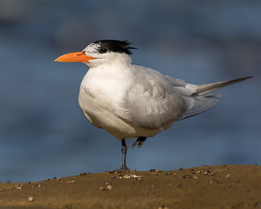 _MG_4713 - Royal Tern