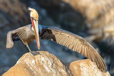 _MG_4222 - Pelican