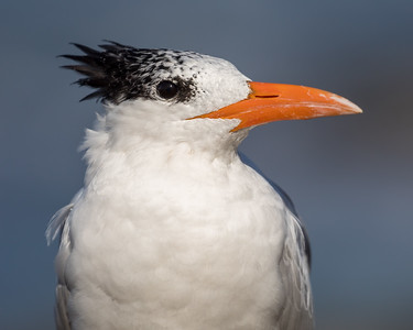 _MG_4759 - Royal Tern