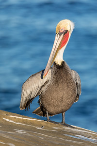 _MG_4317 - Pelican (AM) - 2